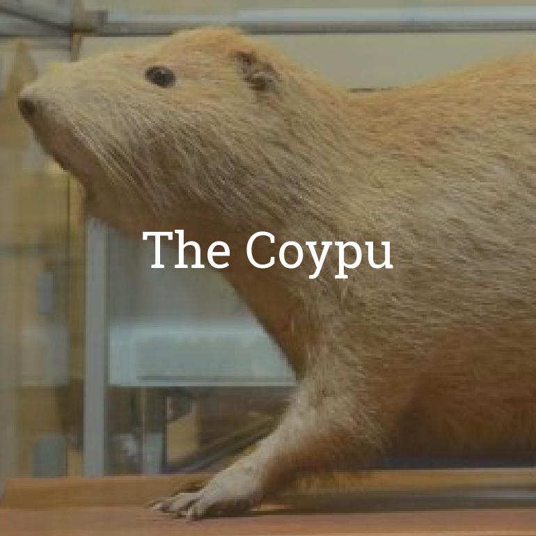 The Coypu